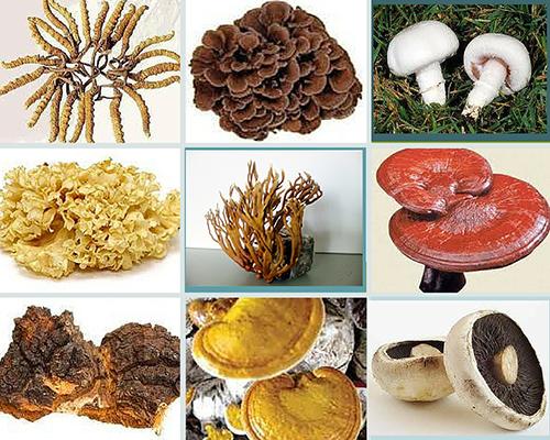 Ảnh minh họa: 9 loại nấm quý